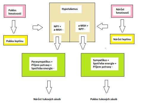 Leptin a regulace tělesné hmotnosti