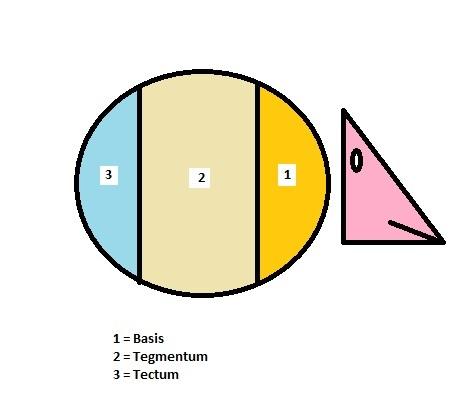 Základní rozdělení částí mozkového kmene