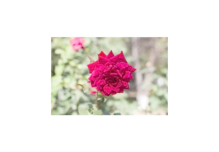 Růže: příčiny, příznaky, diagnostika a léčba