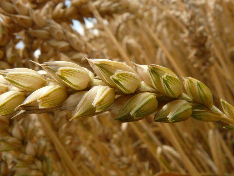 Pšenice - pacient s celiakií jí nesmí