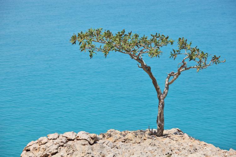 Boswellia tree