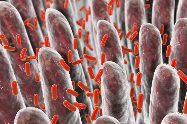 La fibre nourrit les bactéries intestinales
