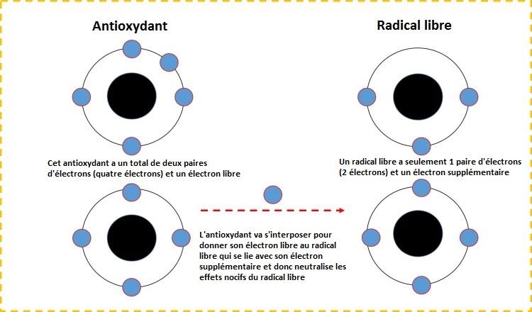La relation entre les antioxydants et les radicaux libres