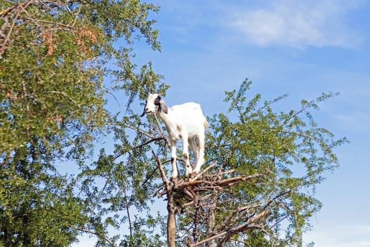 Plody a listy argánie obecné jsou oblíbenou pochoutkou pro kozy