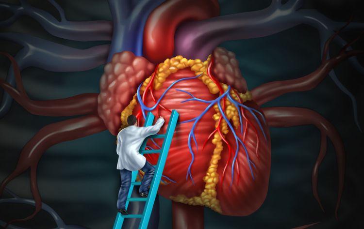 Srdce je pro život důležité a grepy ovlivňují účinnost některých antiarytmik