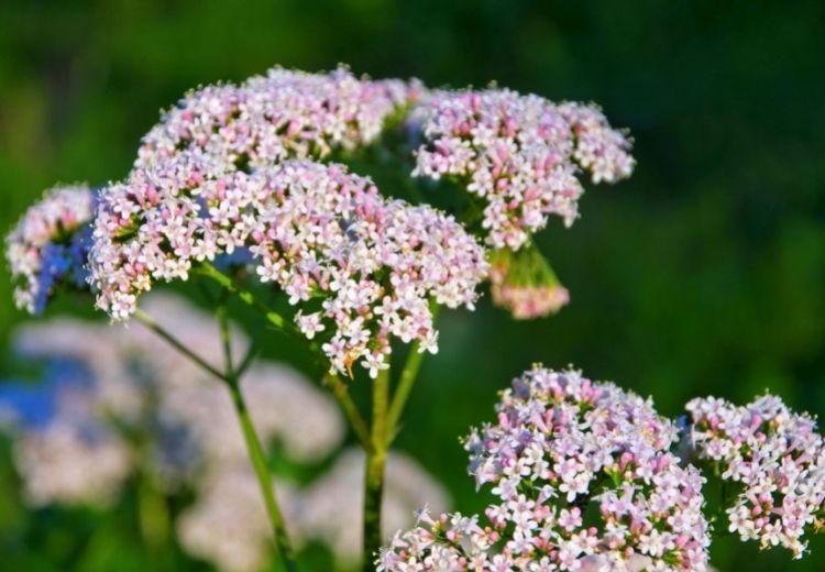 Valeriana lekárska (Valeriana officinalis) je často používanou liečivou bylinou v liečbe nespavosti