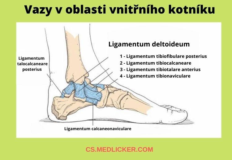 Ligamentum deltoideum (ligamentum collaterale mediale) je skupina vazů, odpovědná za stabilitu hlezenního kloubu. Poškození těchto vazů je vždy spojeno s nestabilitou kotníku, bez ohledu na to, zda došlo současně ke zlomení kostí či nikoli.