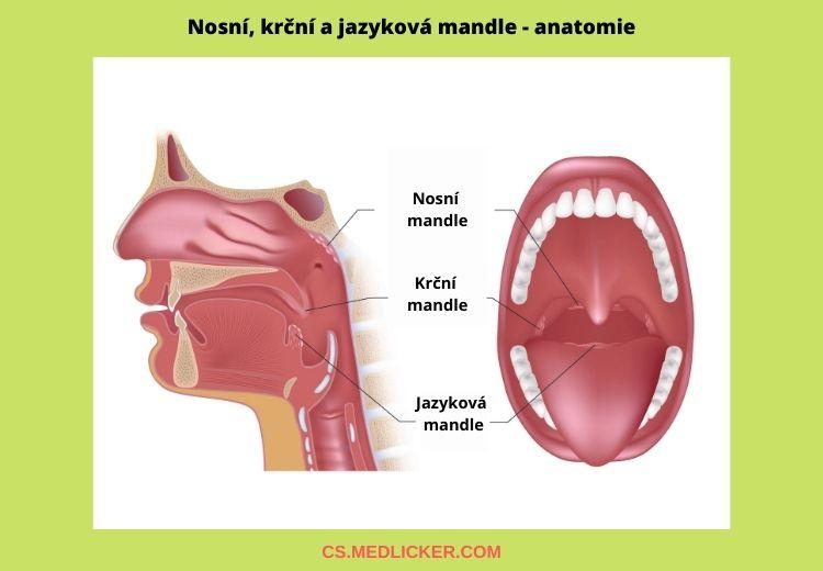 Nosní, krční a jazyková mandle jsou součástí Waldeyerova mízního okruhu, který se podílí na ochraně organizmu před infekcí.