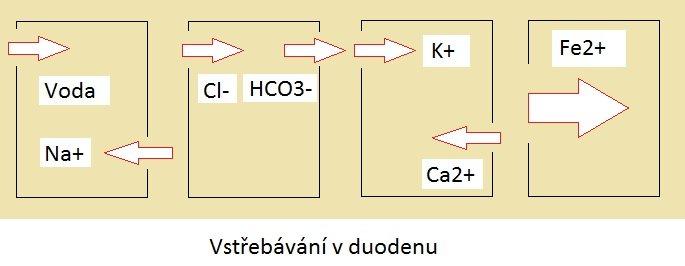 Dvanáctník: struktura a funkce
