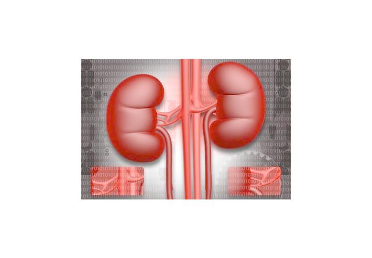 Vnější morfologie ledviny a renální clearance