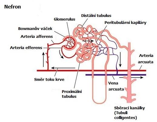Funkční jednotka ledvin - nefron