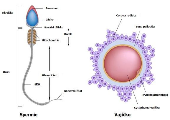 Stavba spermie a vajíčka
