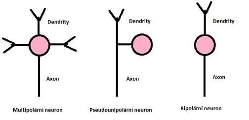 Rozdělení neuronů