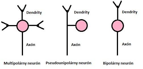 Rozdelenie neurónov