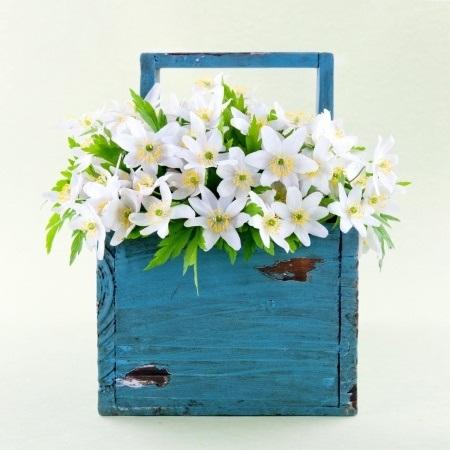 Wood anemone