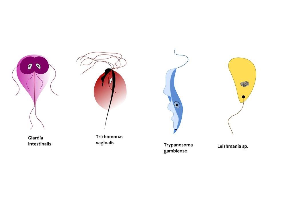 Leishmaniasis: causes, symptoms, diagnosis and treatment
