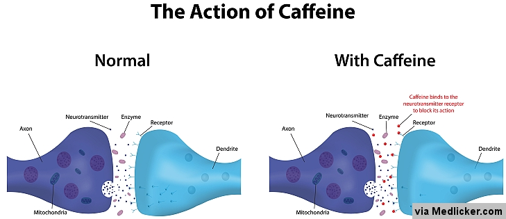 How caffeine works and affects neurons