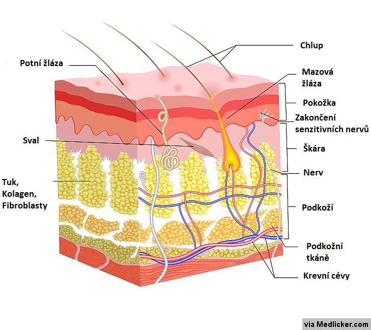 Anatomie normální kůže
