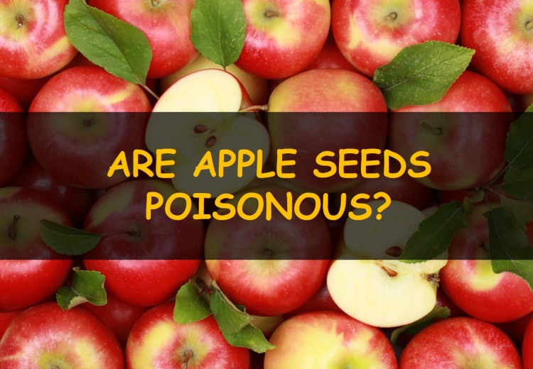 Are apple seeds poisonous?