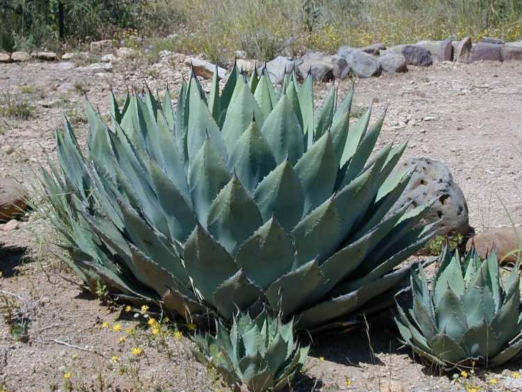 Agáva na púšti