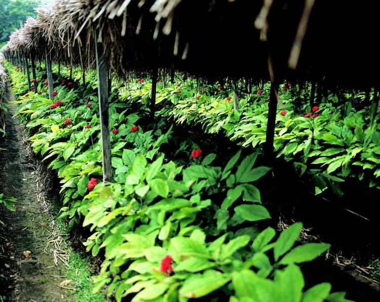 Ginseng plant (Panax) farm