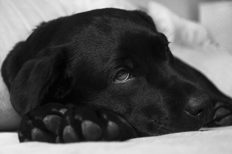 Nemocný labrador